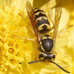 Das Ende der diesjährigen Wespenzeit