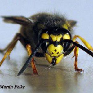 Wird 2019 ein Wespen-Sommer? Das erwartet uns dieses Jahr