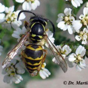 Viele Wespen – NABU gibt Verhaltenstipps