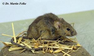 Fabelhaft Im Laden, im Haus, auf der Terrasse: Was man gegen Mäuse-Plagen @CY_59