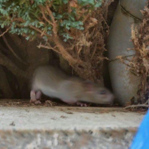 Ratte im Garten