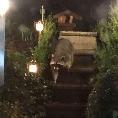 Waschbären kommen in Wuppertal an!
