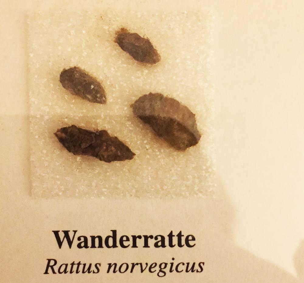 Kot Wanderratte