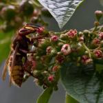 Hornisse bei der Aufnahme von Pflanzensäften